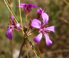 Pelargonium rodneyannum
