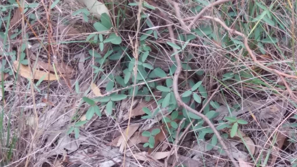 Desmodium in Pinkerton Forest