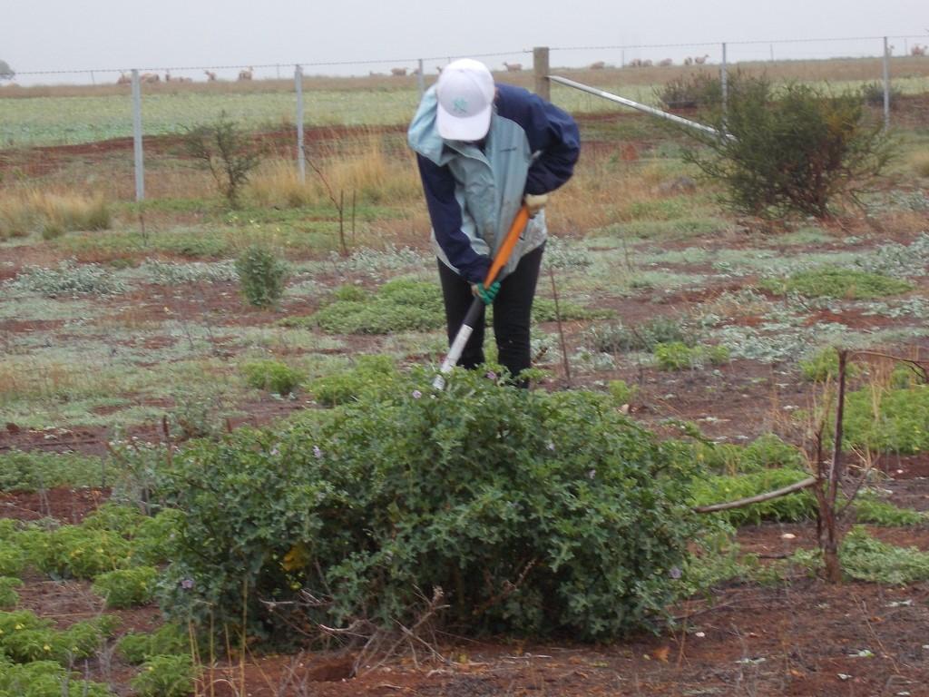 Rosemary digging Apple of Sodom Pink Escarpment 12 sep 2020