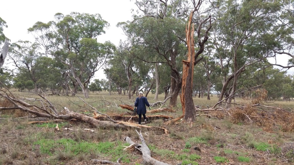 Rosemary with tree lighting strike 8 feb 2020