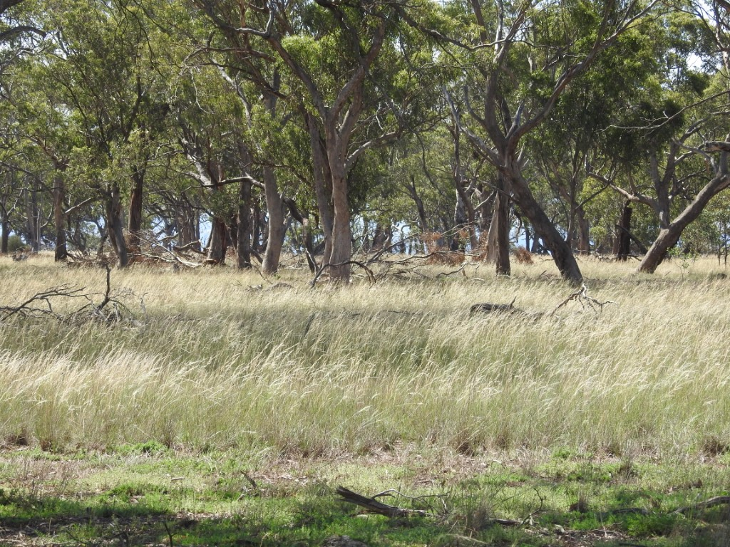 Speargrass growth Pinkerton Forest 2 feb 2020