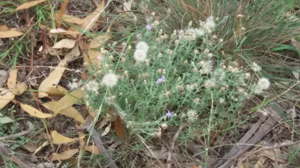 New holland daisy Pinkerton 23 Mar 2020