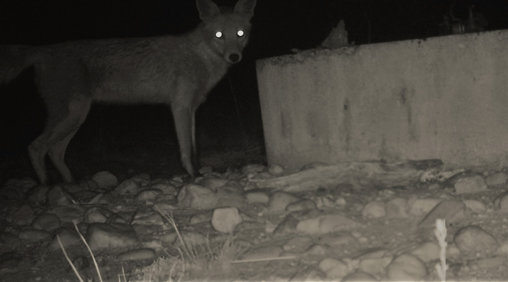 Eyes in the dark- fox in pinkerton.JPG