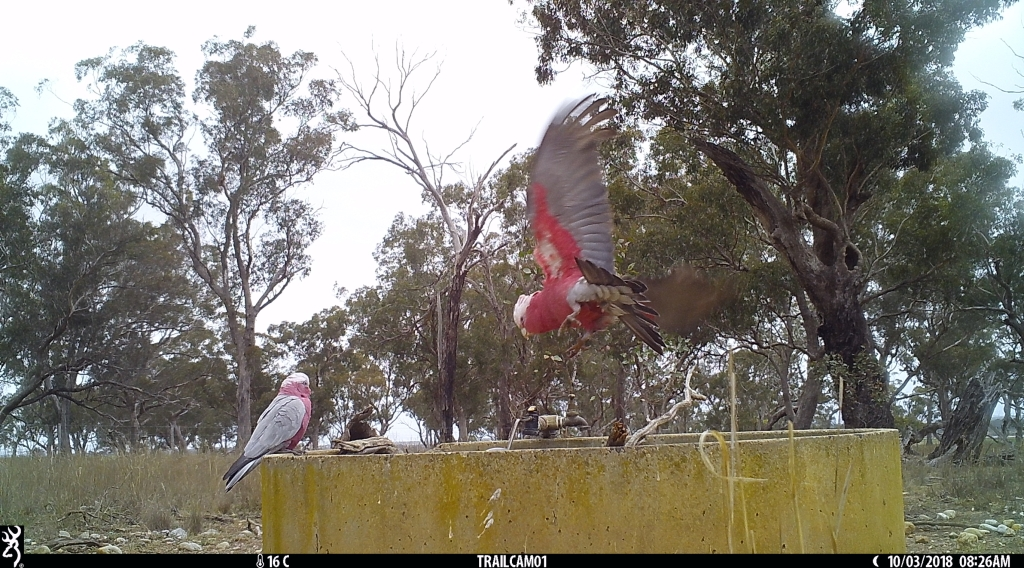 Galahs in Pinkerton Forest.JPG