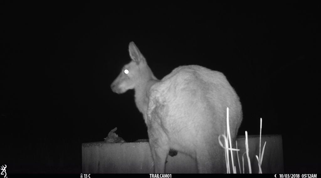 Grey Kangaroo in Pinkerton.JPG