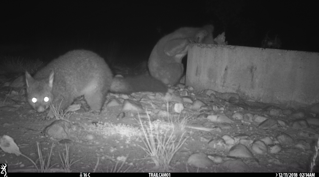 Koala & Brush-tailed Possum sharing a drink in  Pinkerton 2.jpg