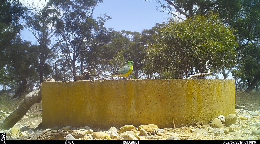 Red-rumped Parrot at Pinkerton Forest.JPG