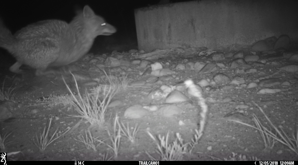 fox chasing possum in pinkerton 1.jpg