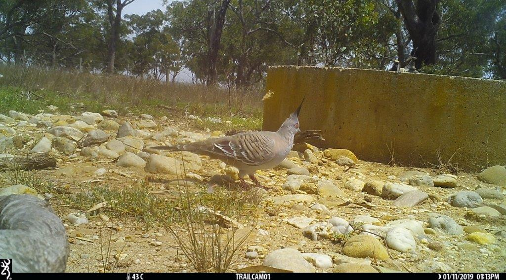 Crested Pigeon Pinkeron Forest