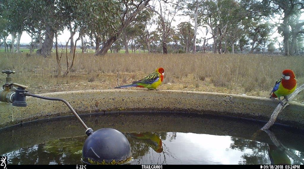 Eastern Rosellas in Pinkerton Forest