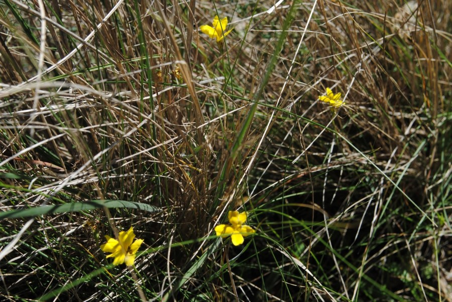 Cut-leaf Goodenia (Goodenia pinnatifida)
