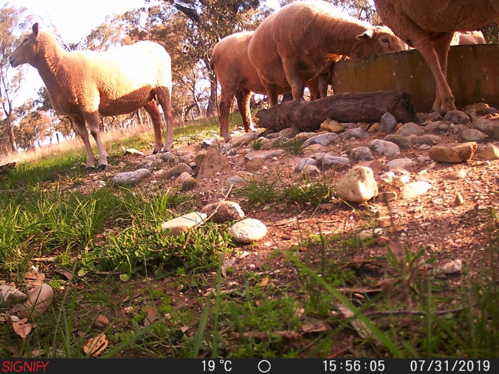 SHEEP-IN-PINKERTON-3_JULY2019_.JPG