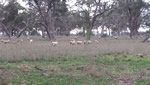 sheep grazing in PinkertonForest th