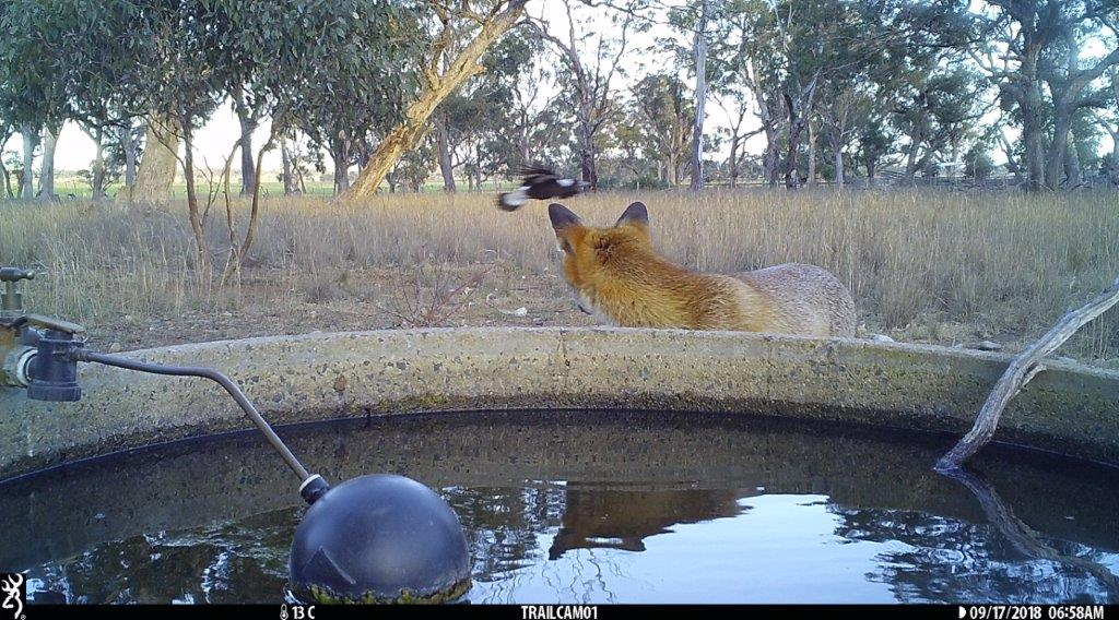 Fox swooped by magpie pinkerton